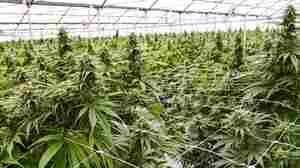 Researching Medical Marijuana May Soon Get Easier