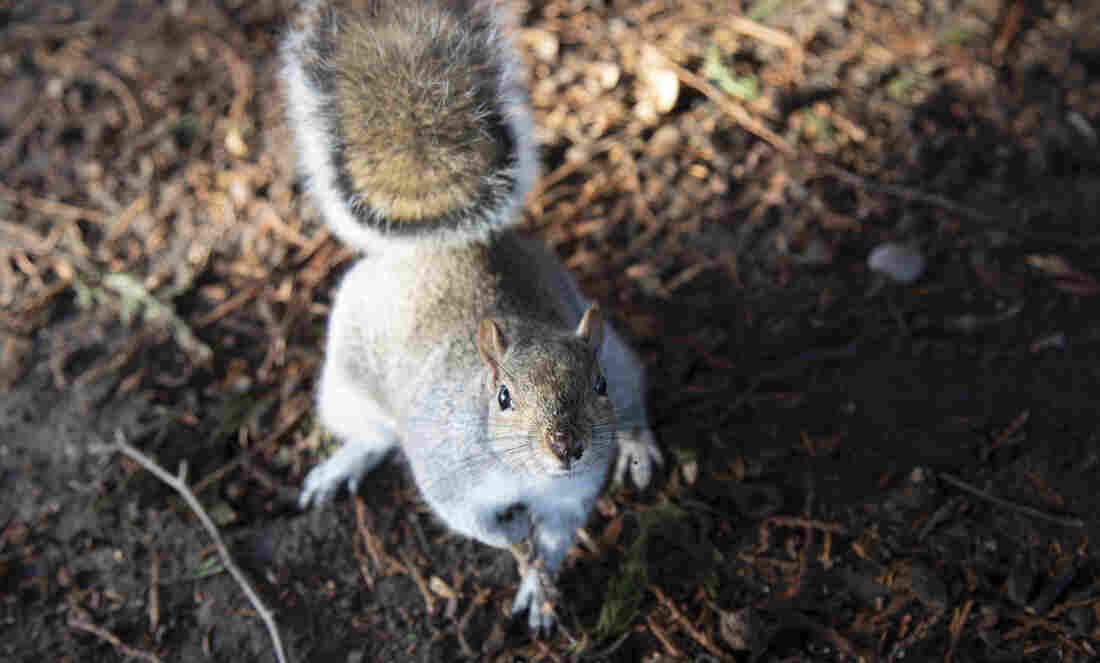 Westlake Legal Group greysquirrel_custom-5070c744f5d41b4d1bf1fbb9cde2254cde953b48-s1100-c15 The Other Twitterverse: Squirrels Eavesdrop On Birds, Researchers Say