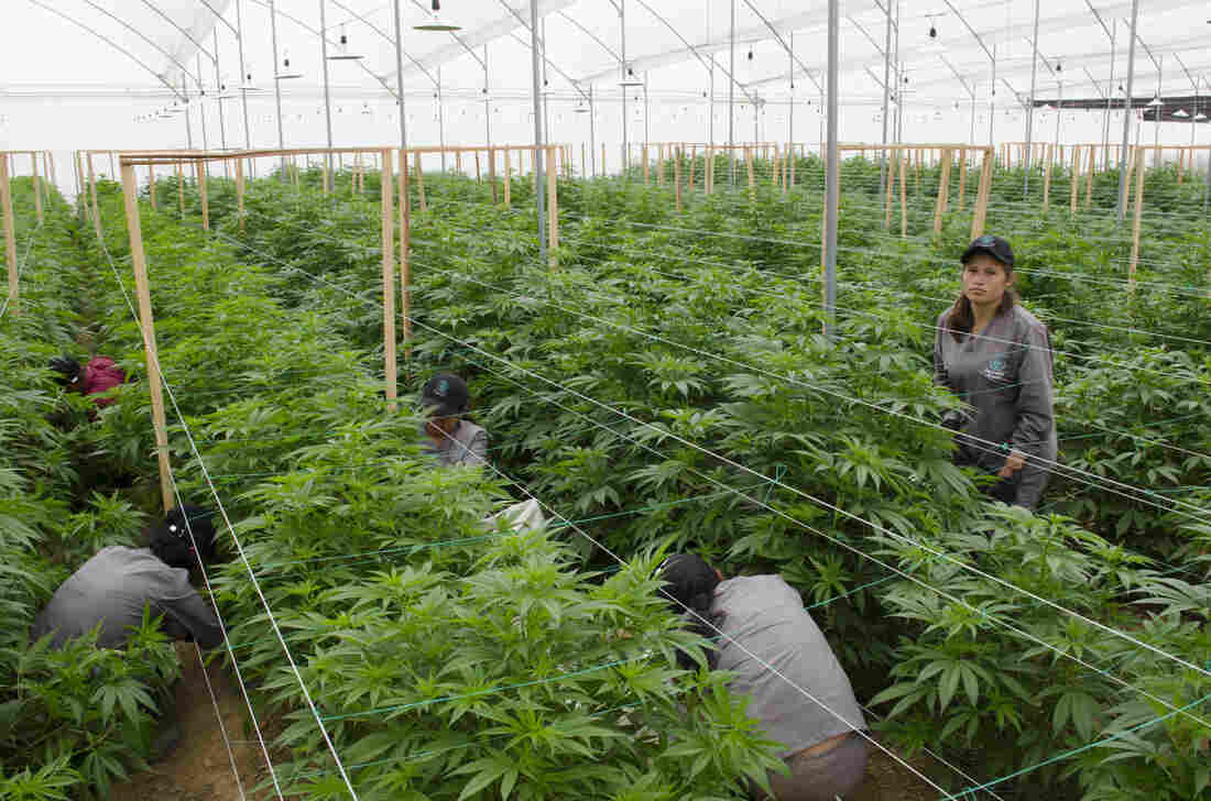 Westlake Legal Group foto-cultivo-prensa_custom-a5485d2b5b537ec7f08f0253c2cf2cca5a7ba4b9-s1100-c15 Colombia Is Turning Into A Major Medical Marijuana Producer