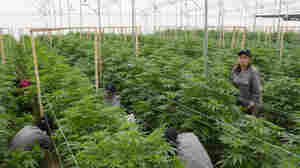 Colombia Is Turning Into A Major Medical Marijuana Producer