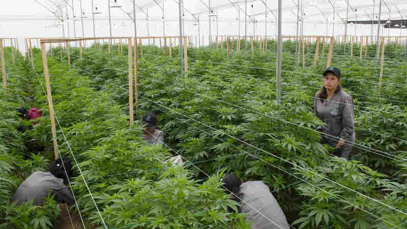 Colombia Is Turning Into A Major Medical Marijuana Producer