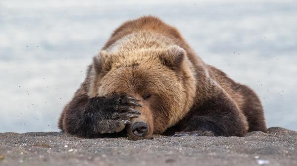 Bear hiding his face.