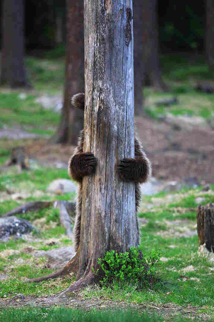 Here, a brown bear in Finland demonstrates the proper form for a searcher at the start of a game of hide-and-seek. No peeking!