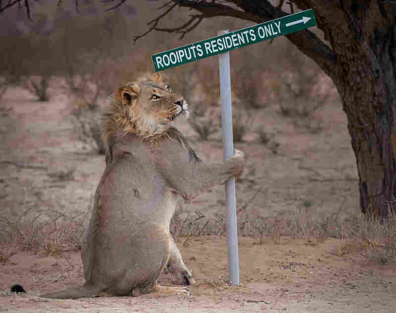 This lion in South Africa could be practicing a dance, playing a practical joke on visitors — or considering his next meal.