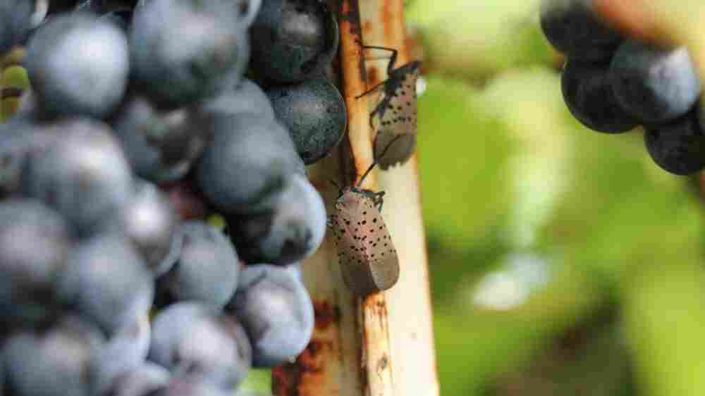 Vineyards Facing An Insect Invasion May Turn To Aliens For Help