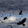 Вороны: они страшные или просто хитрые?