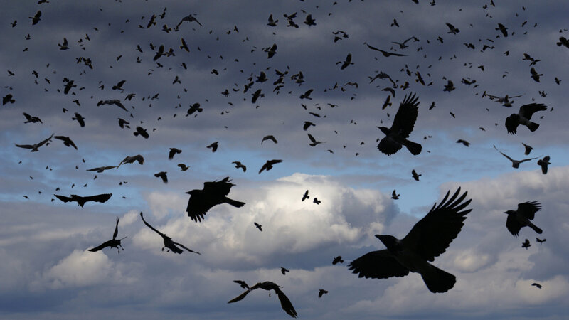 Are Crows Scary Or Just Scarily Smart? : Short Wave : NPR
