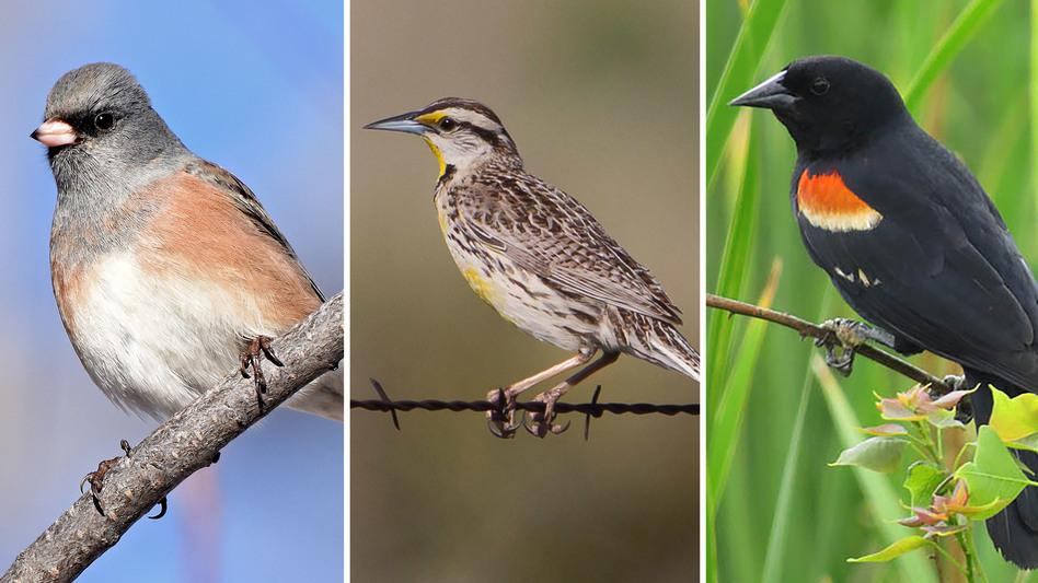 (Left to right) Dark-eyed Junco, Eastern Meadowlark, Red-winged Blackbird (Steven Mlodinow/EOL.org; Greg Lasley/EOL.org; dfwuw/EOL.org)