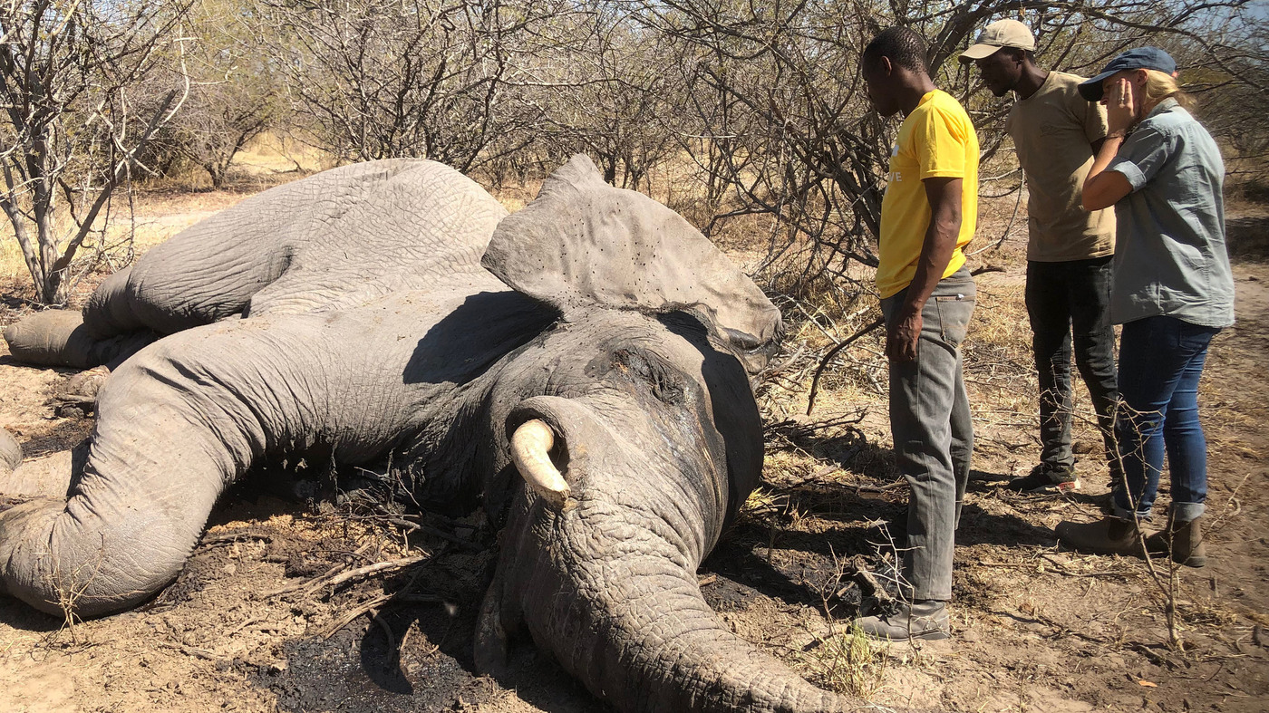 Elephant Hunting Is On Again For Hunters Again In Botswana What S