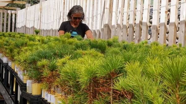 Forest biologist Patricia Maloney is raising 10,000 sugar pine seedlings descended from trees that survived California