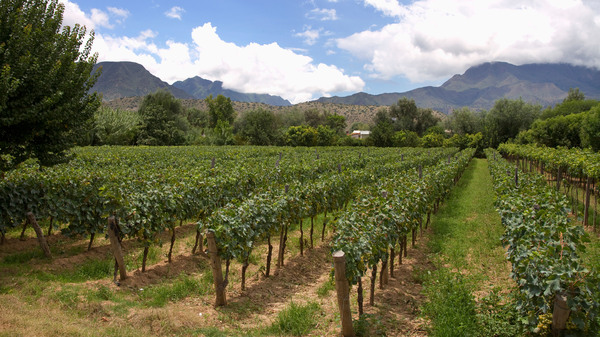 A vineyard in Tarija, Bolivia, the center of the country