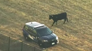 A Bull Has An Afternoon Out In Baltimore