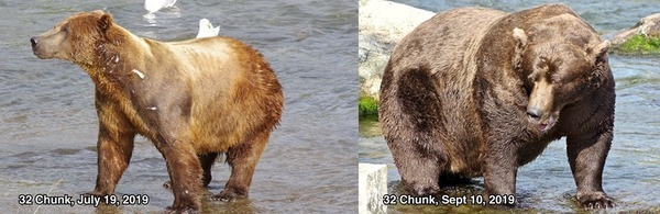 Park staffers make sure to get good before and after photos of the 12 contestants, including Bear No. 32 (Chunk).