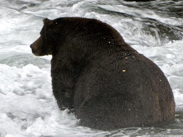 Bear 747 is a favorite in the Fat Bear Week contest in Alaska's Katmai National Park.