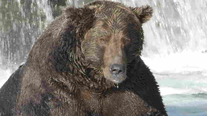 It's Fat Bear Week In Alaska's Katmai National Park — Time To Fill Out Your Bracket