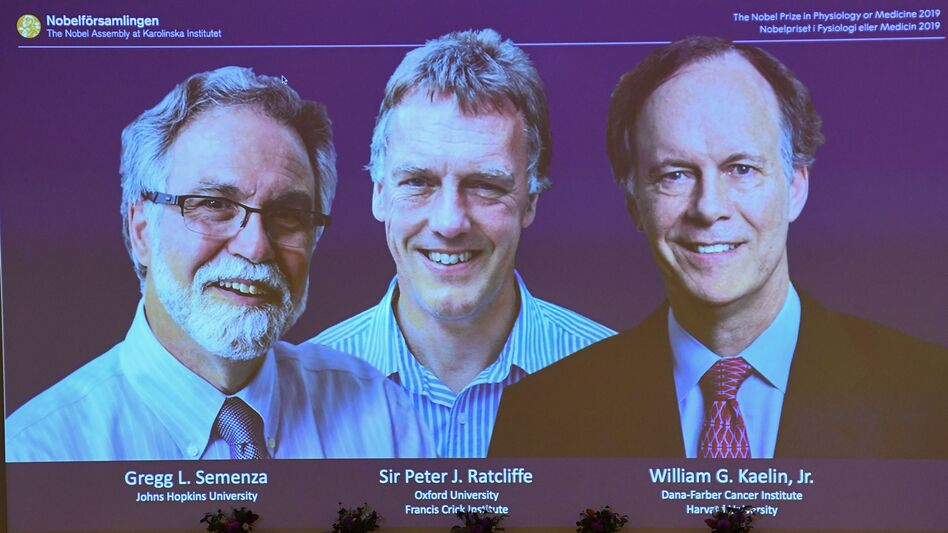 The winners of the 2019 Nobel Prize in physiology or medicine are Gregg Semenza of the U.S., Peter Ratcliffe of Britain and William Kaelin of the U.S. They're seen here on a screen during a news conference at the Karolinska Institute in Stockholm. (Jonathan Nackstrand/AFP via Getty Images)