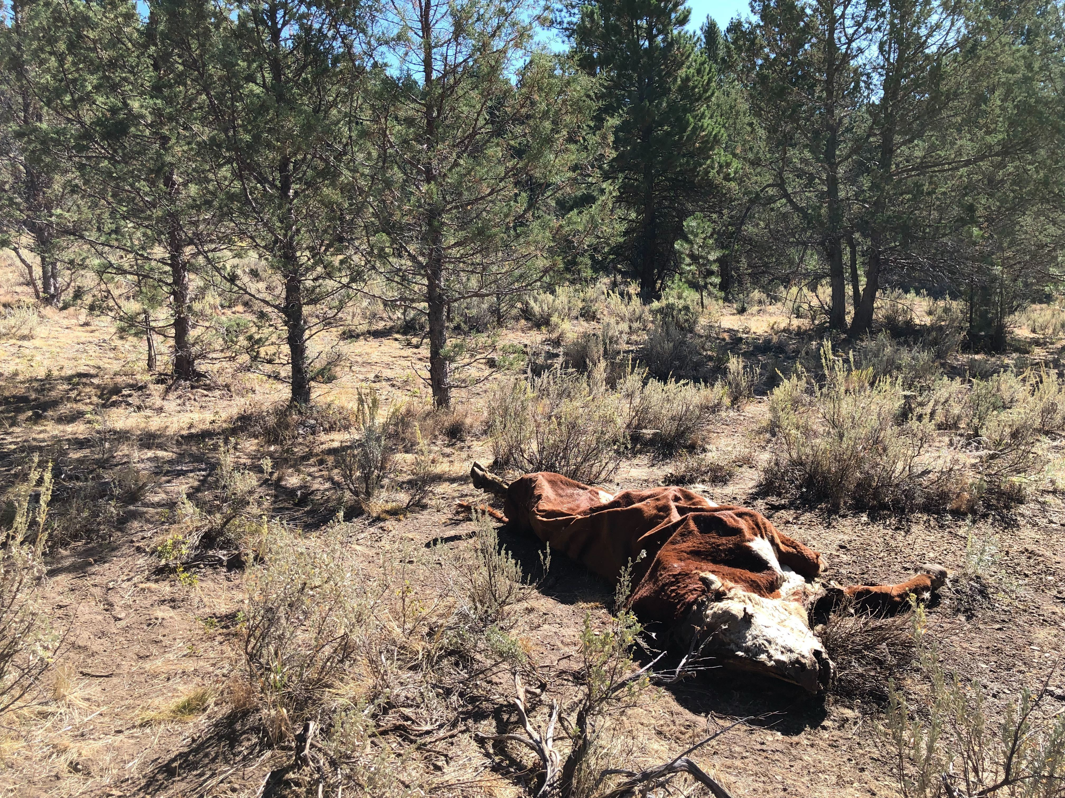 'Not One Drop Of Blood': Cattle Mysteriously Mutilated In Oregon