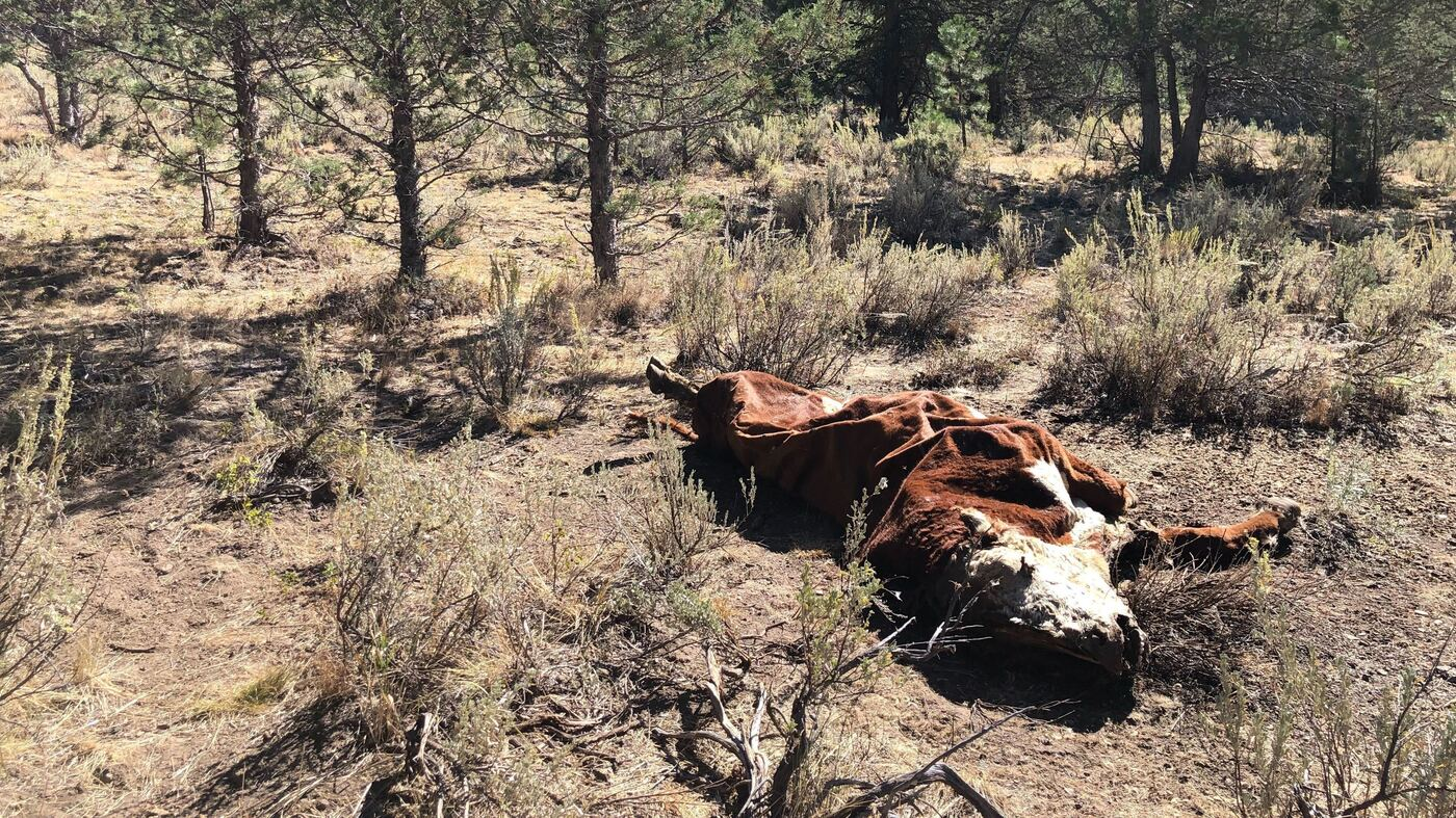 'Not One Drop Of Blood': Cattle Mysteriously Mutilated In Oregon : NPR