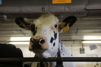 Unlike most dairy cows in America, which are descended from just two bulls, this cow at Pennsylvania State University has a different ancestor: She is the daughter of a bull that lived decades ago, called University of Minnesota Cuthbert. The bull's frozen semen was preserved by the U.S. Agriculture Department.