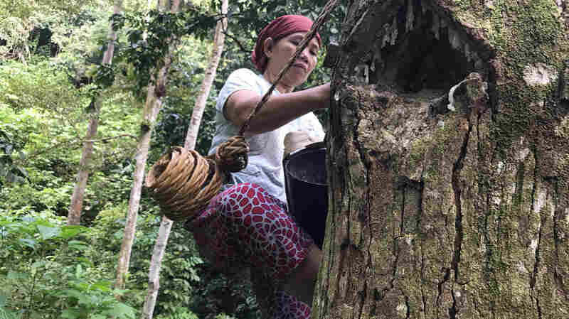 Could This Tree Be An Eco-Friendly Way To Wean Indonesian Farmers Off Palm Oil?