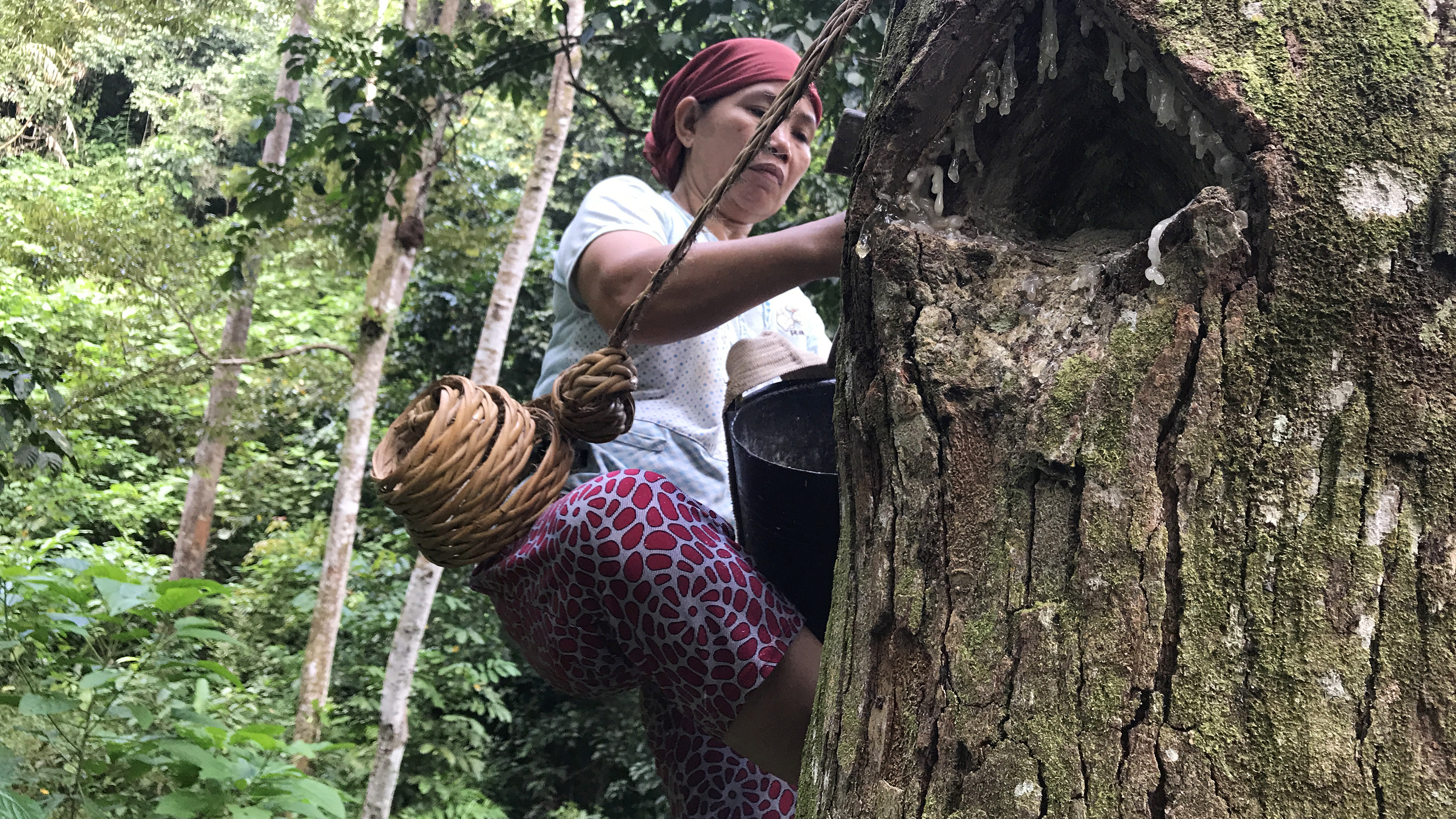"""In the forests near the southern Sumatran village of Krui, 48-year-old Marhana climbs up the trees to harvest damar, a resin used in paints and varnishes. These damar trees are part of something called an """"agroforest,"""" which experts see as a way to prevent deforestation and conversion of forests into palm oil plantations."""