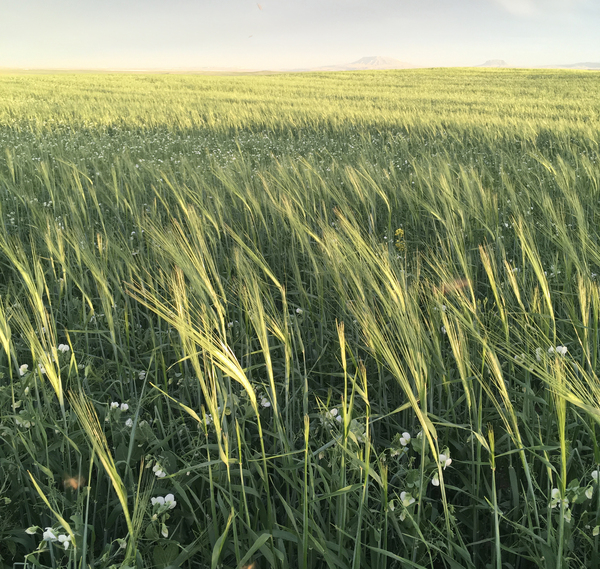 A mix of barley, peas and flax grows in a field at Casey Bailey's farm near Fort Benton, Mont. Bailey sells this crop to Montana dairy farmer Nate Brown, who has been feeding it to his goats.