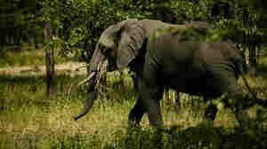 Using AI In Malawi To Save Elephants