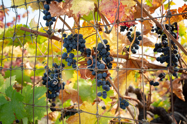 October marks not only fire season in California but also the peak of the grape harvest. As wildfires grow more frequent, so do concerns for field workers, who, like other outdoor workers, face particular conditions that can jeopardize health.