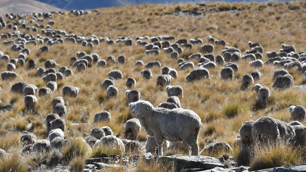 Methane emitted by ruminant animals like cattle and sheep accounted for 34% of New Zealand