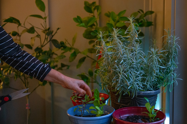 Pamela Bobb harvests some mint from her indoor herb and lemon garden at her home in Fairfield Glade, Tenn. Changes in her diet — lots more greens, fruits, vegetables and herbs and spices that reduce inflammation — are also part of her pain-reduction routine.