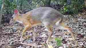 Silver-Backed Chevrotain, With Fangs And Hooves, Photographed In Wild For First Time