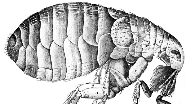 Fleas transmit plague — but the pneumonic plague, the type reported from China this week, can spread from person to person as well.