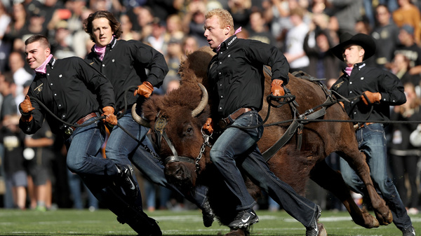 Ralphie V, mascot of the Colorado Buffaloes, is led onto the field before the team