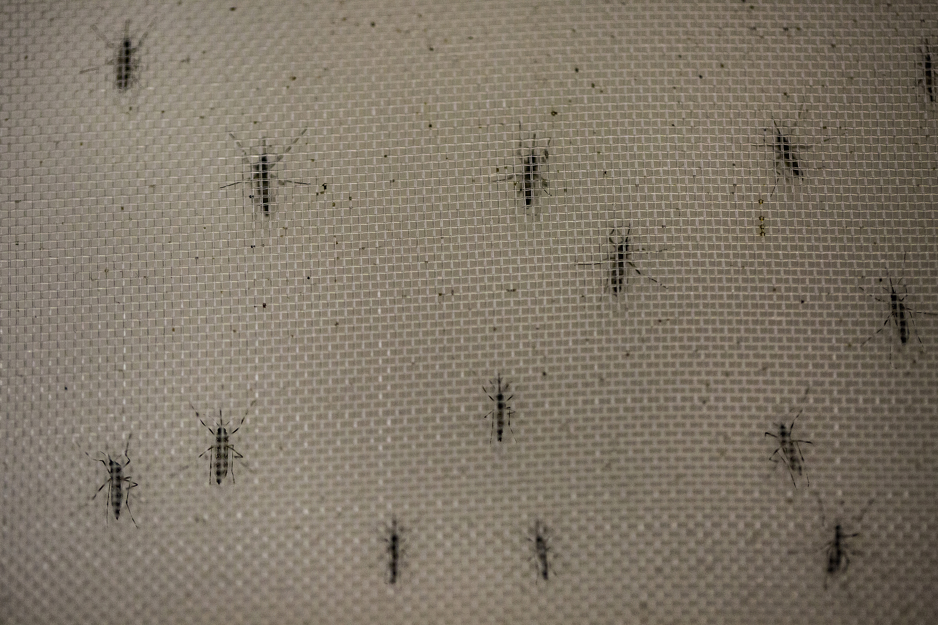 Infecting Mosquitoes With Bacteria Could Have A Big Payoff