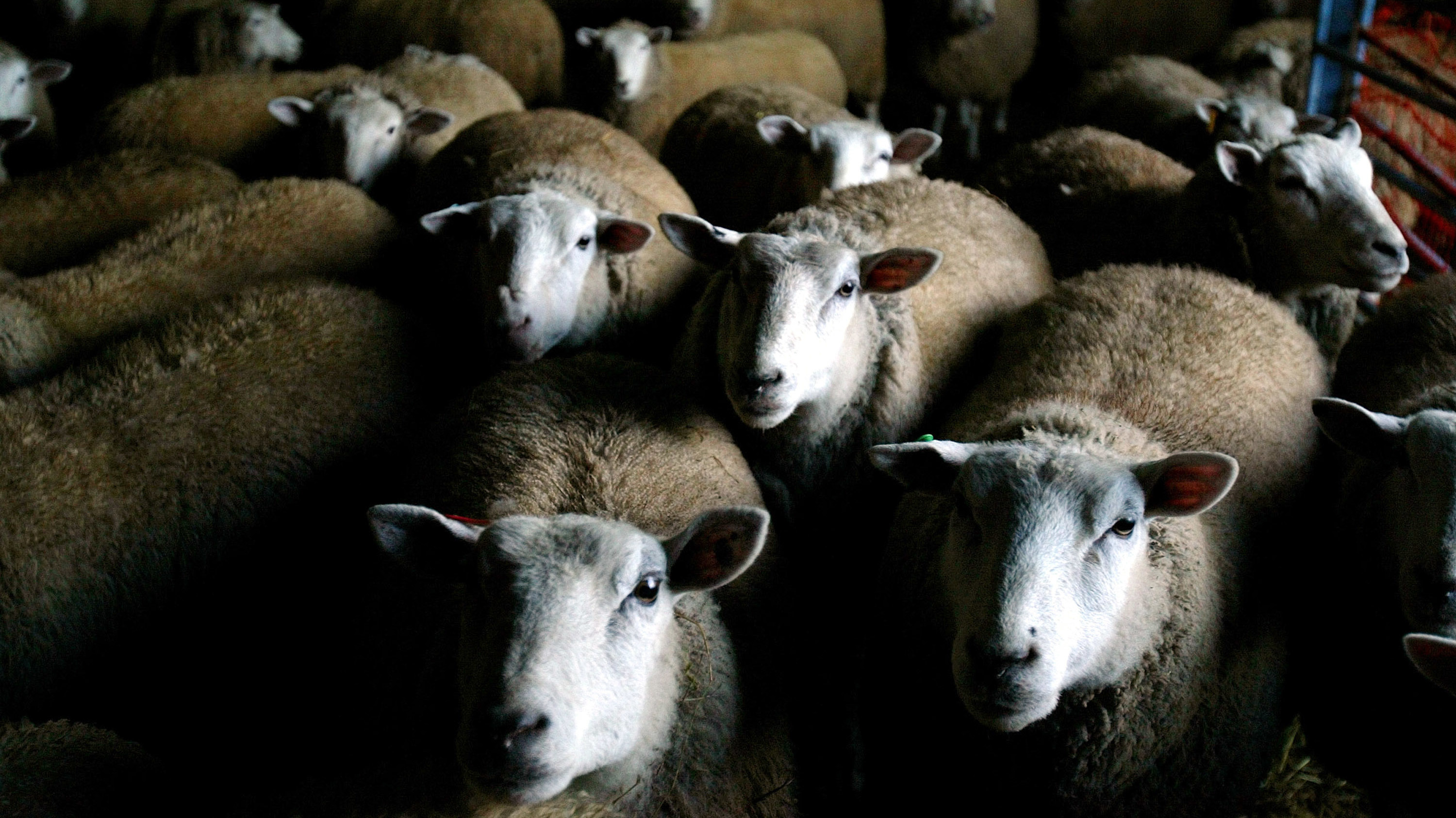 After Wwii Mutton Fell Out Of Favor In The U S Can It Make A Comeback The Salt Npr