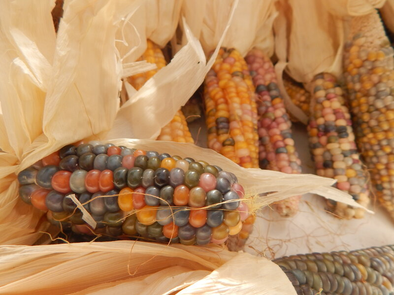 Glass Gem Corn Poster Child For The Return To Heirloom Seeds Npr
