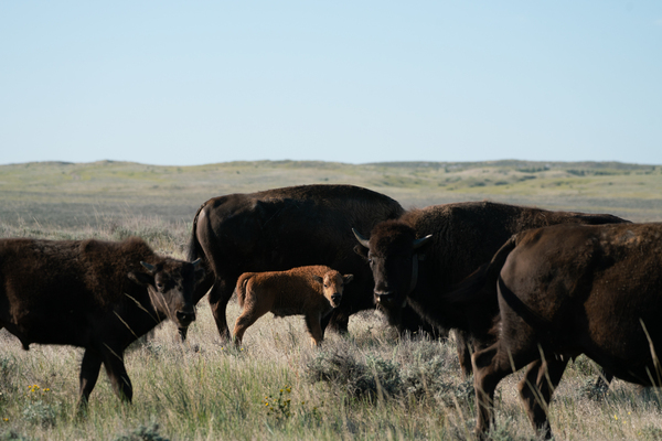 The American Prairie Reserve project has also garnered support from two local tribal councils, including at the Fort Belknap Indian Reservation, home of the Nakoda and Aaniiih. Bison were nearly eradicated from the prairies by white settlers and the U.S. government more than a century ago.