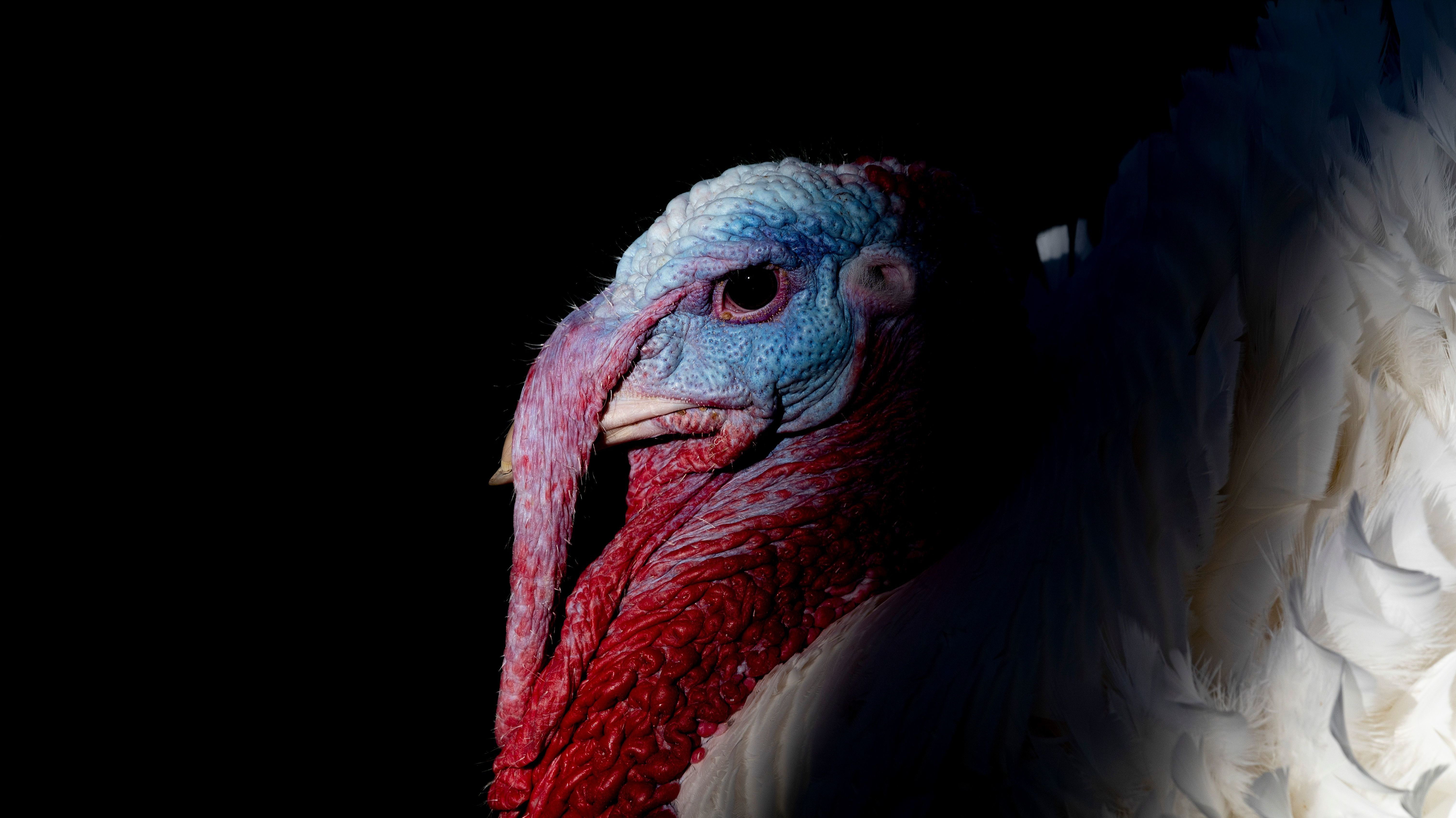 President Trump Pardons Thanksgiving Turkeys Why Are Turkeys Pardoned Npr