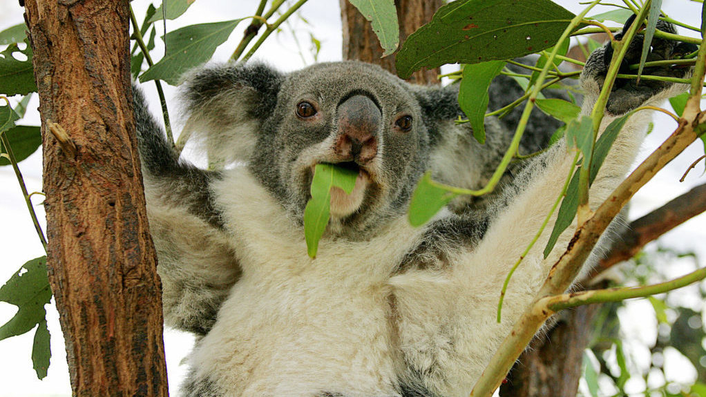 No, Koalas Aren't 'Functionally Extinct.' But They Are In Danger
