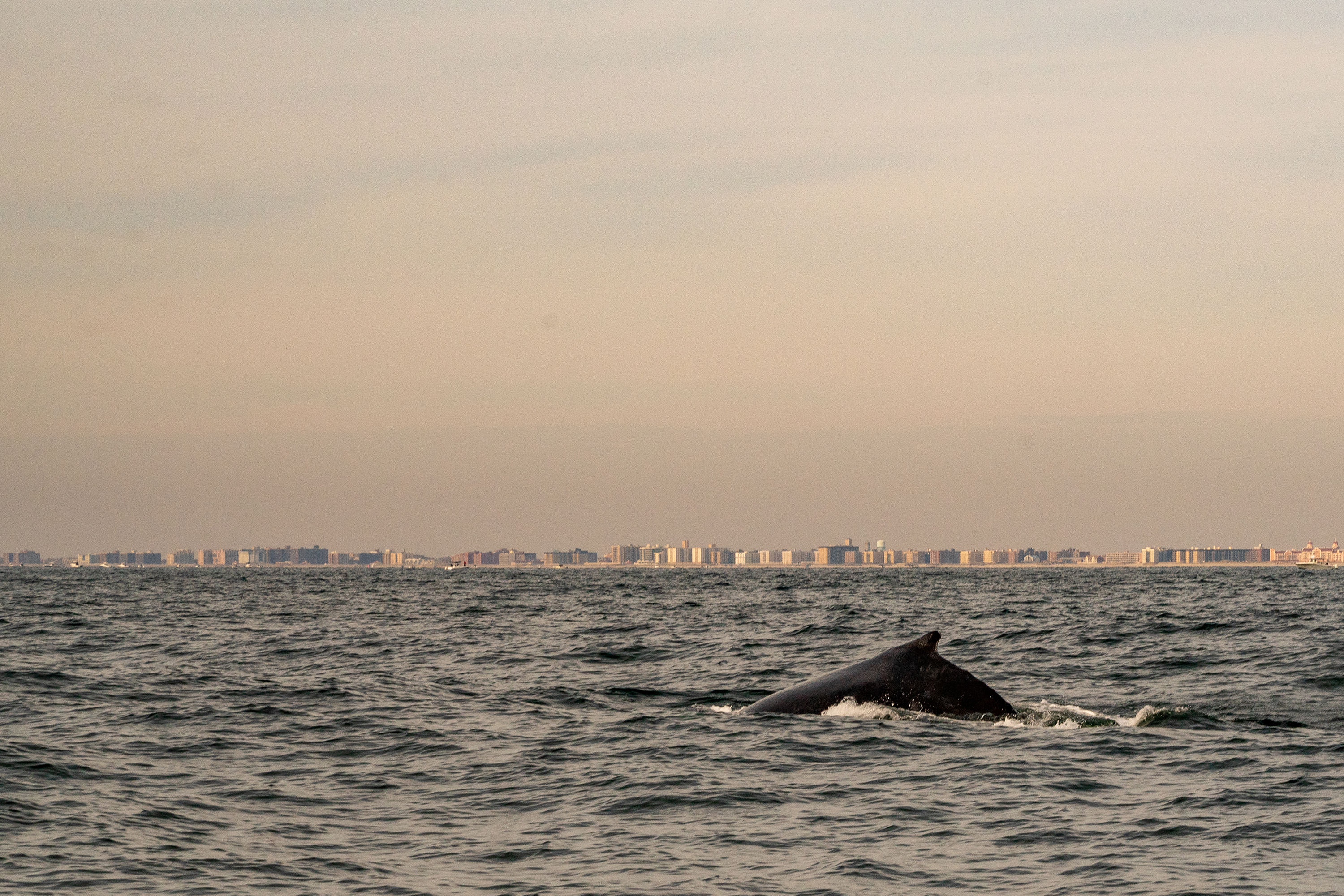 Offshore Wind May Help The Planet — But Will It Hurt Whales?