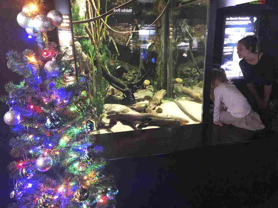 It's eel-ectric: Christmas tree at Tenn. aquarium powered by electric eel