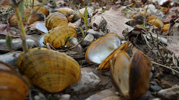 Biologists pile recently dead mussel shells on the edge of the Clinch River after documenting the species