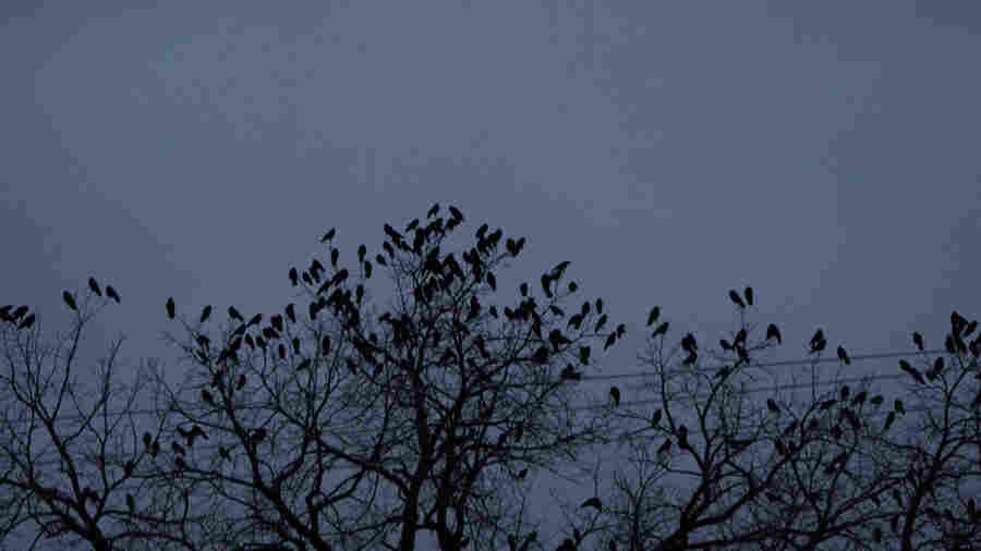 This Minnesota City Has A Bird Poop Problem, But The Crow Patrol Is On It