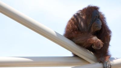 If You Give An Orangutan A Kazoo...