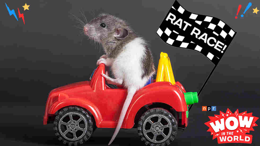 Lab rats, start your engines! What in the world happened when scientists created tiny rodent-sized cars and taught rats how to drive? And why in the world are these four-legged creatures using their newfound freedom to pick up Froot Loops? And how in the world can all of this benefit us humans?! The rat race is on, and Mindy and Guy Raz are taking you for a ride!