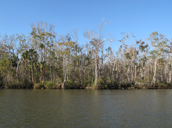 Trees line the water's edge along Florida's Apalachicola River. Millions of tupelo trees and freshwater grasses have been choked out by salt water creeping farther inshore.