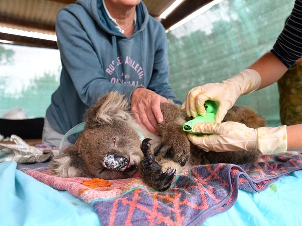 Veterinarians and volunteers treat koalas at Kangaroo Island Wildlife Park on Kangaroo Island, southwest of Adelaide, Australia, on Friday.