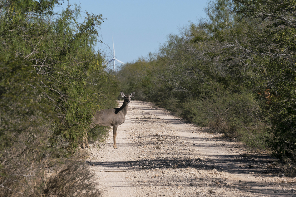 A white-tailed deer emerges from the brush. The Lower Rio Grande Valley National Wildlife Refuge has some of the richest biological diversity in North America — with 1,200 plants, 300 butterflies, and 700 vertebrates, of which 520 are birds. (Verónica G. Cárdenas for NPR)