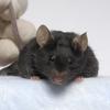 Cientistas enviaram ratos poderosos ao espaço para melhorar os tratamentos na Terra
