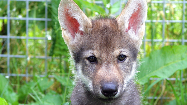 Scientists put several litters of wolf puppies through a standard battery of tests. Many pups, such as this one named Flea, wouldn